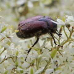 Unidentified Scarab beetle (Scarabaeidae) (TBC) at Mongarlowe, NSW - 31 Jan 2021 by LisaH