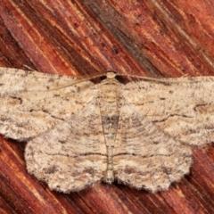 Ectropis excursaria (Common Bark Moth) at Melba, ACT - 23 Jan 2021 by kasiaaus