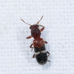 Lemidia sp. (genus) (TBC) at Melba, ACT - 23 Jan 2021 by kasiaaus