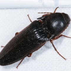 Elateridae sp. (family) (TBC) at Melba, ACT - 23 Jan 2021 by kasiaaus