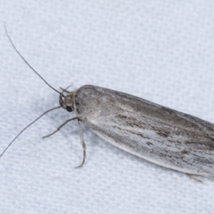 Unidentified Oecophoridae group 3 at Melba, ACT - 23 Jan 2021