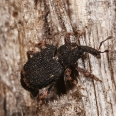Unidentified Weevil (Curculionoidea) (TBC) at Melba, ACT - 23 Jan 2021 by kasiaaus
