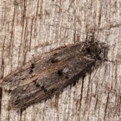 Heterozyga coppatias (A concealer moth) at Melba, ACT - 23 Jan 2021 by kasiaaus