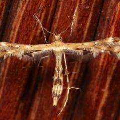 Sphenarches anisodactylus (Geranium Plume Moth) at Melba, ACT - 23 Jan 2021 by kasiaaus