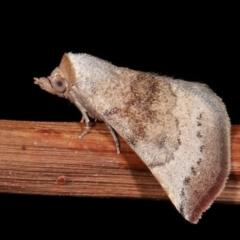 Mataeomera mesotaenia (Mini Owlet Moth) at Melba, ACT - 23 Jan 2021 by kasiaaus