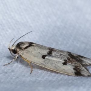 Compsotropha selenias at Melba, ACT - 24 Jan 2021