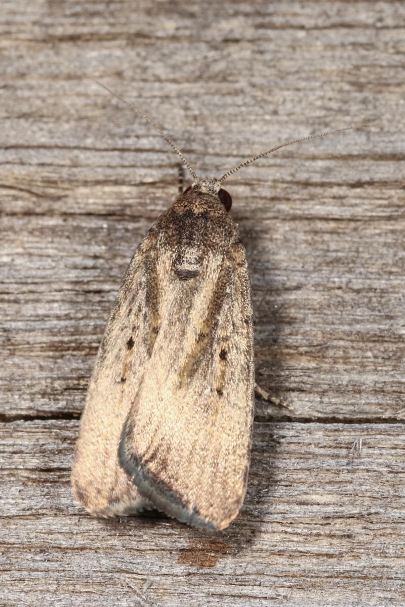 Proteuxoa (genus) at Melba, ACT - 24 Jan 2021