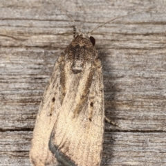 Proteuxoa (genus) (A Noctuid Moth) at Melba, ACT - 23 Jan 2021 by kasiaaus