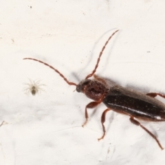 Unidentified Beetle (Coleoptera) (TBC) at Melba, ACT - 23 Jan 2021 by kasiaaus