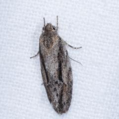 Agriophara leptosmela (A Concealer moth) at Melba, ACT - 23 Jan 2021 by kasiaaus
