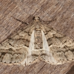 Lipogya eutheta (Grey Bark Moth) at Melba, ACT - 23 Jan 2021 by kasiaaus