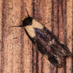 Palimmeces leucopelta (A concealer moth) at Melba, ACT - 23 Jan 2021 by kasiaaus