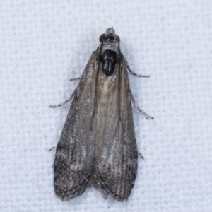 Heteromicta pachytera at Melba, ACT - 24 Jan 2021