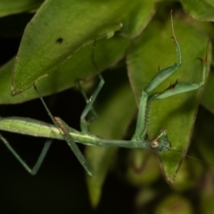 Pseudomantis albofimbriata (TBC) at Melba, ACT - 23 Jan 2021 by kasiaaus