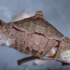 Dolophones sp. (genus) (Wrap-around spider) at Melba, ACT - 24 Jan 2021 by kasiaaus