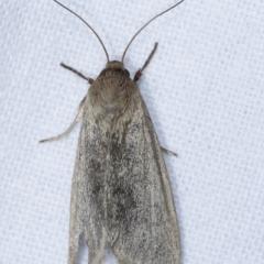 Heliocheilus (genus) at Melba, ACT - 24 Jan 2021