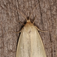 Heliocheilus (genus) (Heliothine moths) at Melba, ACT - 24 Jan 2021 by kasiaaus