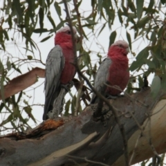Eolophus roseicapilla (Galah) at Bowna Reserve - 1 Feb 2021 by PaulF
