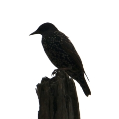 Sturnus vulgaris (Common Starling) at Bowna Reserve - 1 Feb 2021 by PaulF