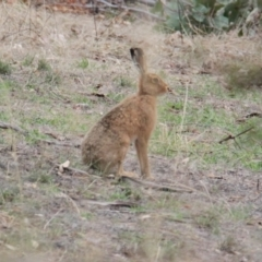 Lepus capensis (Brown Hare) at Bowna Reserve - 1 Feb 2021 by PaulF