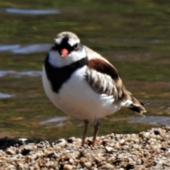 Elseyornis melanops (Black-fronted Dotterel) at Gigerline Nature Reserve - 2 Feb 2021 by JohnBundock
