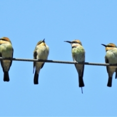 Merops ornatus (Rainbow Bee-eater) at Gigerline Nature Reserve - 2 Feb 2021 by JohnBundock