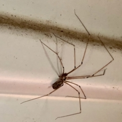 Pholcus phalangioides (Daddy longlegs spider) at Aranda, ACT - 2 Feb 2021 by KMcCue