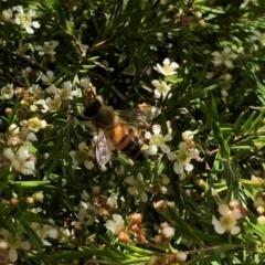 Apis mellifera (European honey bee) at Aranda, ACT - 2 Feb 2021 by KMcCue