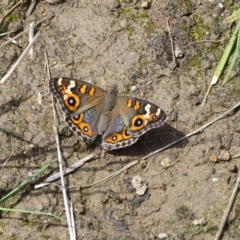 Junonia villida (Meadow Argus) at Phillip, ACT - 2 Feb 2021 by Mike