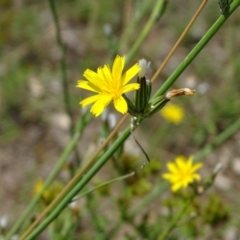 Chondrilla juncea (Skeleton Weed) at Mawson, ACT - 2 Feb 2021 by Mike