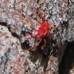 Rainbowia sp. (genus) (A mite) at Downer, ACT - 30 Jan 2021 by Christine