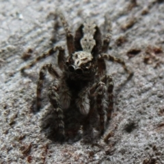 Clynotis severus (Stern Jumping Spider) at Black Mountain - 30 Jan 2021 by Christine