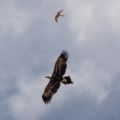 Aquila audax (Wedge-tailed Eagle) at Majura, ACT - 30 Jan 2021 by trevsci