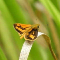 Ocybadistes walkeri (Greenish Grass-dart) at Kambah, ACT - 31 Jan 2021 by MatthewFrawley
