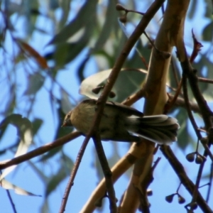 Rhipidura albiscapa (Grey Fantail) at suppressed by LisaH