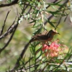 Myzomela sanguinolenta (Scarlet Honeyeater) at suppressed - 2 Feb 2021 by LisaH