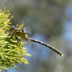 Austrogomphus guerini (Yellow-striped Hunter) at Theodore, ACT - 2 Feb 2021 by Owen