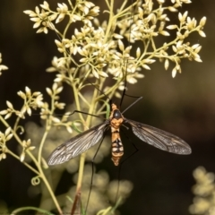 Leptotarsus (Leptotarsus) clavatus (A crane fly) at ANBG - 1 Feb 2021 by Roger