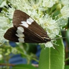 Nyctemera amicus (Senecio or Magpie moth) at Rugosa at Yass River - 2 Feb 2021 by SenexRugosus