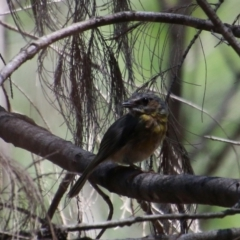 Eopsaltria australis (Eastern Yellow Robin) at suppressed - 2 Feb 2021 by LisaH