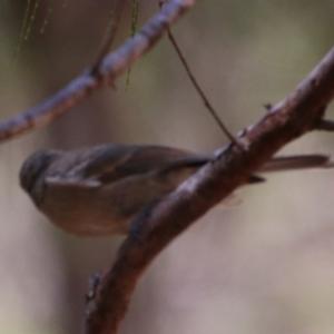 Pachycephala pectoralis at suppressed - 2 Feb 2021