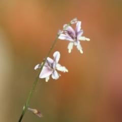 Arthropodium milleflorum (Vanilla Lily) at suppressed - 2 Feb 2021 by LisaH