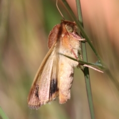 Helicoverpa Sp. at Moruya, NSW - 1 Feb 2021 by LisaH