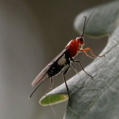 Braconidae sp. (family) (Unidentified braconid wasp) at Mongarlowe River - 31 Jan 2021 by LisaH