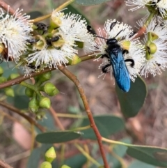 Austroscolia soror (Blue-winged flower wasp) at Murrumbateman, NSW - 1 Feb 2021 by SimoneC