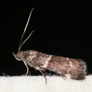 Lasiosticha canilinea at Melba, ACT - 25 Jan 2021