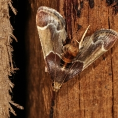 Pyralis farinalis (Meal Moth) at Melba, ACT - 25 Jan 2021 by kasiaaus