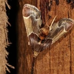 Pyralis farinalis (Meal Moth) at Melba, ACT - 25 Jan 2021 by kasiaaus