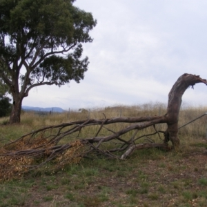 Eucalyptus blakelyi at Curtin, ACT - 1 Feb 2021