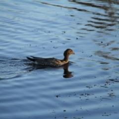 Chenonetta jubata (Australian Wood Duck) at Throsby, ACT - 2 Feb 2021 by davobj